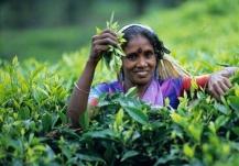 TEA WORKERS_Photo Courtesy_Nansang Estate_Assam_DBPhotoWorld (2)