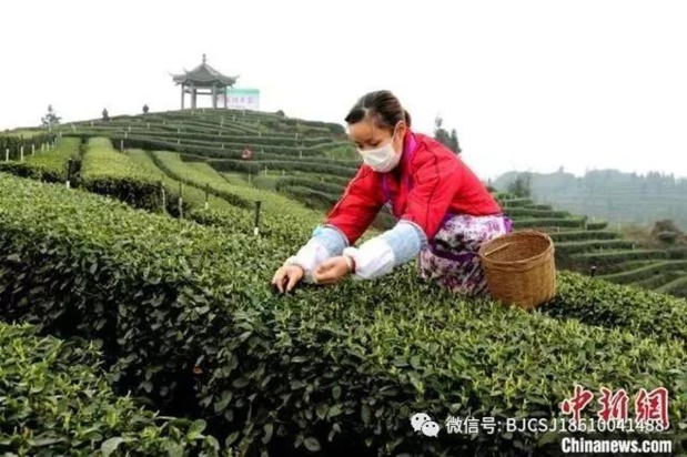 Coronavirus Presents Logistical Challenges for China's TeaHarvest